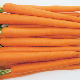 Sugarsnax 54 Main Crop Carrots