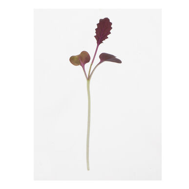 Mustard, Barbarossa Microgreen Vegetables