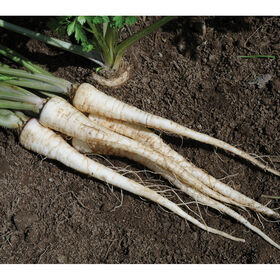Arat Root Parsley