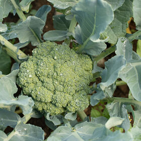 Emerald Crown Standard Broccoli