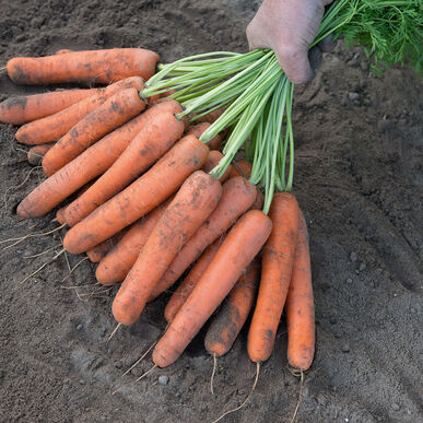 Naval Main Crop Carrots