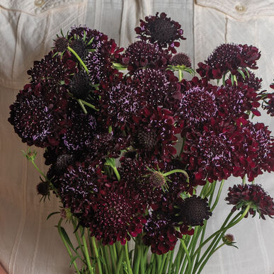Black Beauty Scabiosa (Pincushion Flower)