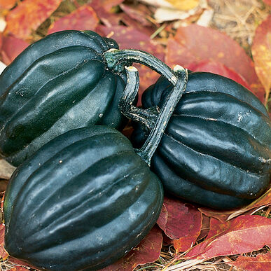 Tuffy Organic Acorn Squash Seed Johnny S Selected Seeds