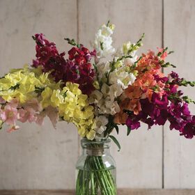 Chantilly Formula Mix Snapdragon