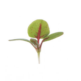 Sorrel, Red Veined Microgreens