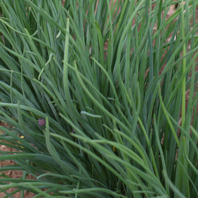 Medium Leaf Standard Chives