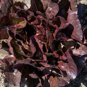 Marciano Butterhead Lettuce (Boston)
