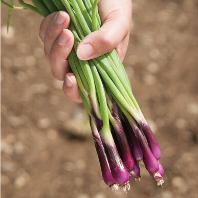 Deep Purple Bunching Onions