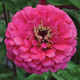 Giant Dahlia Flowered Deep Rose Giant Dahlia Flowered Series