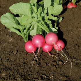 Pink Beauty Round Radishes