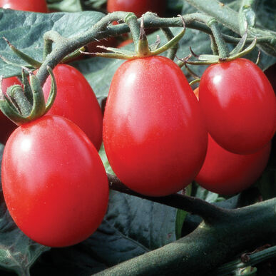 Chiquita Grape Tomatoes