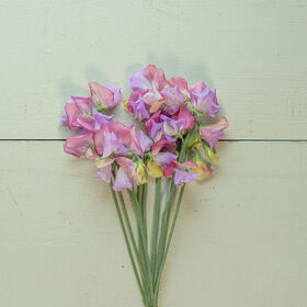 Enchanté Sweet Peas
