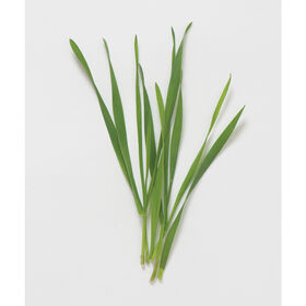 Hard Red Winter Wheat Shoots