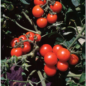 Washington Cherry Cherry Tomatoes