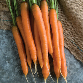 Mokum Early Carrots