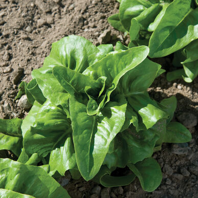 Deer Tongue Bibb Lettuce