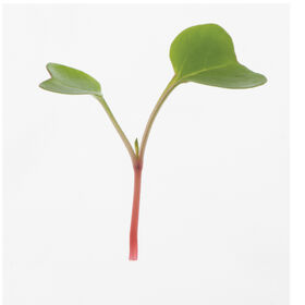 Radish, Red Arrow Microgreen Vegetables