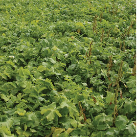 Oilseed Radish Radishes (Cover Crop)