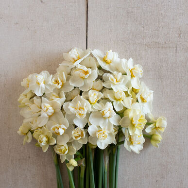 Cheerfulness Narcissus