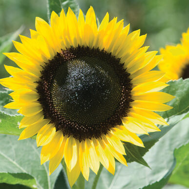Sunrich Lemon Tall Sunflowers