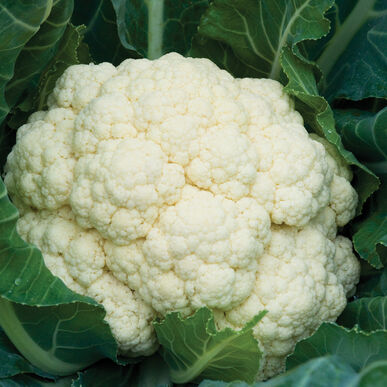 Amazing Standard Cauliflower