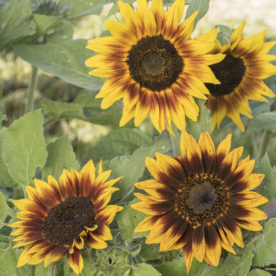 Ring of Fire Tall Sunflowers