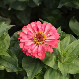 Giant Dahlia Flowered Coral Giant Dahlia Flowered Series