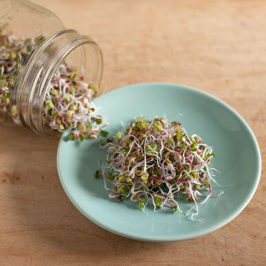 Radish, China Rose Sprouts