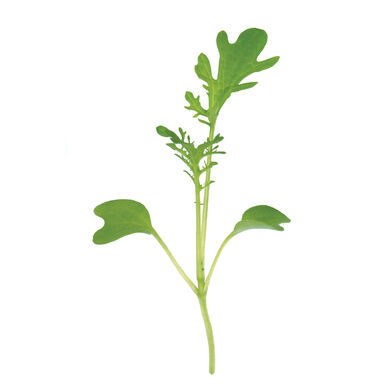 Mustard, Golden Frills Microgreen Vegetables