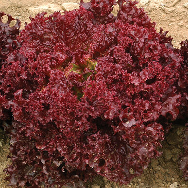 Dark Red Lollo Rossa Baby Leaf Lettuce