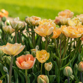 Charming Beauty Tulips