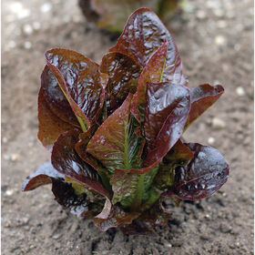 Red Rosie Romaine Lettuce (Cos)