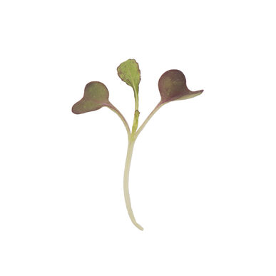 Mustard, Garnet Giant Microgreen Vegetables