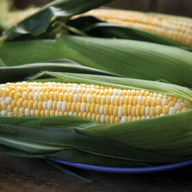 Anthem XR Sweet Corn