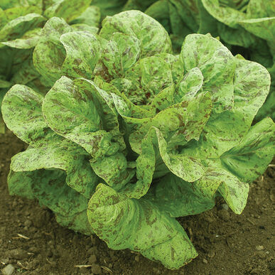 Flashy Trout Back Romaine Lettuce (Cos)
