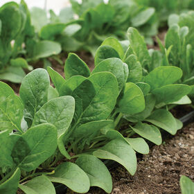 Auroch Smooth-Leaf Spinach