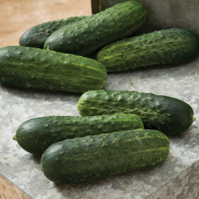 Excelsior Pickling Cucumbers