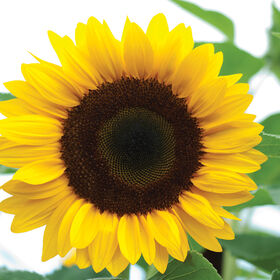 Sunrich Orange Tall Sunflowers