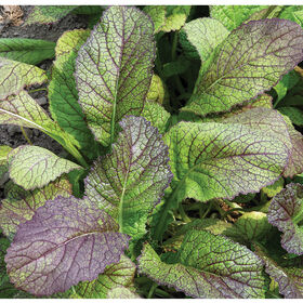 Red Giant Mustard Greens