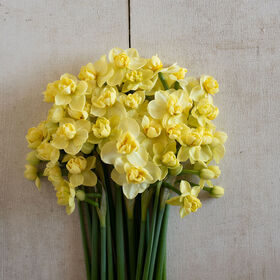 Yellow Cheerfulness Narcissus