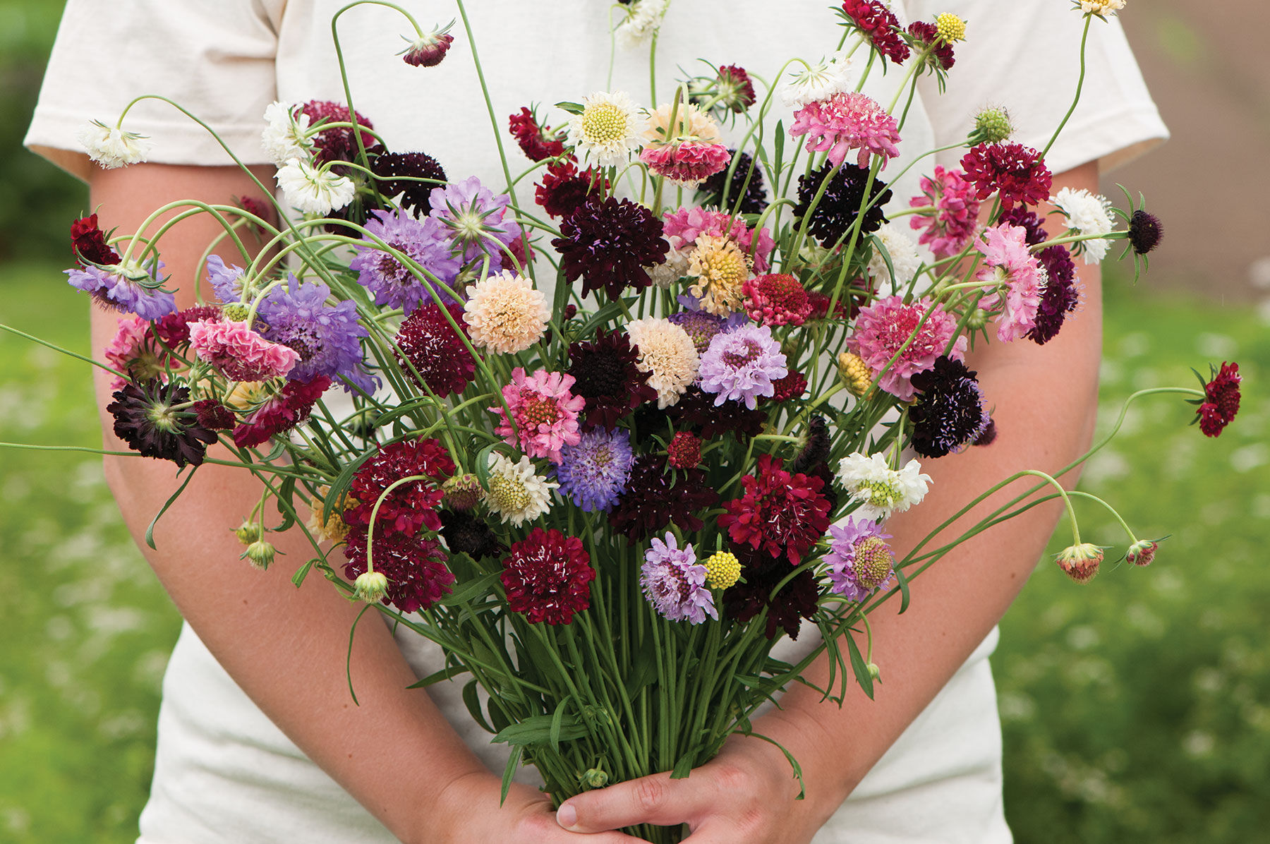 PINCUSHION DOUBLE FLOWER SEEDS SCABIOSA MIXED COLOURS FRAGRANT 100 SEED PACK