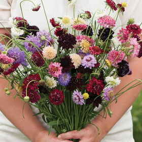Pincushion Mix Scabiosa (Pincushion Flower)