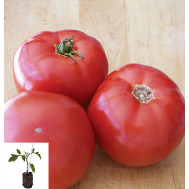 BHN-589/Shin Cheong Gang Grafted Grafted Tomato Plants