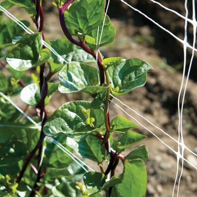 Red Malabar Spinach Specialty Greens