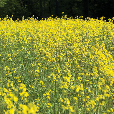 Mustard Mustards (Cover Crop)