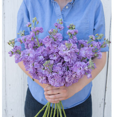 Katz Lavender Blue Stock