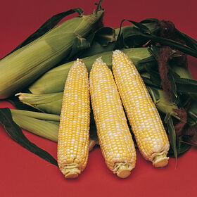 Delectable Sweet Corn