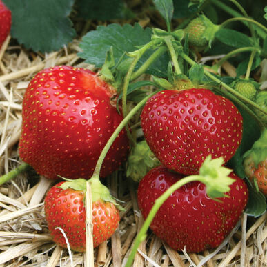 Galletta Strawberry Bare-Root Plants