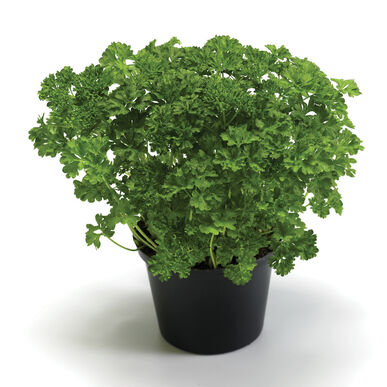 Wega Leaf Parsley