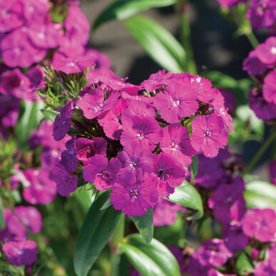 Amazon Neon Purple Dianthus (Sweet William)